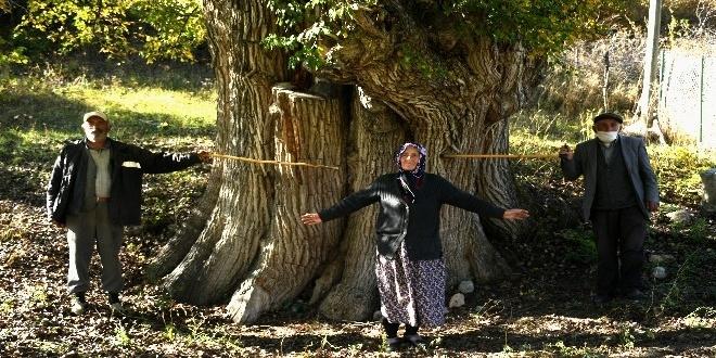 Artvin'de 2000 yıllık Armut Ağacı
